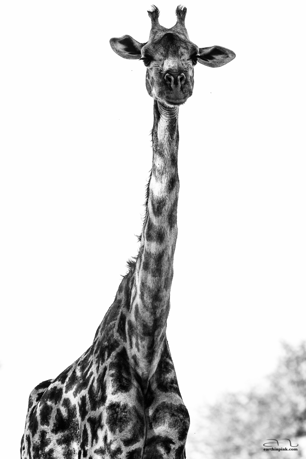 A curious giraffe poses for the camera in Tarangire National Park, Tanzania