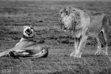 Lioness turns down male lion's advances near the entrance of Serengeti National Park, Tanzania