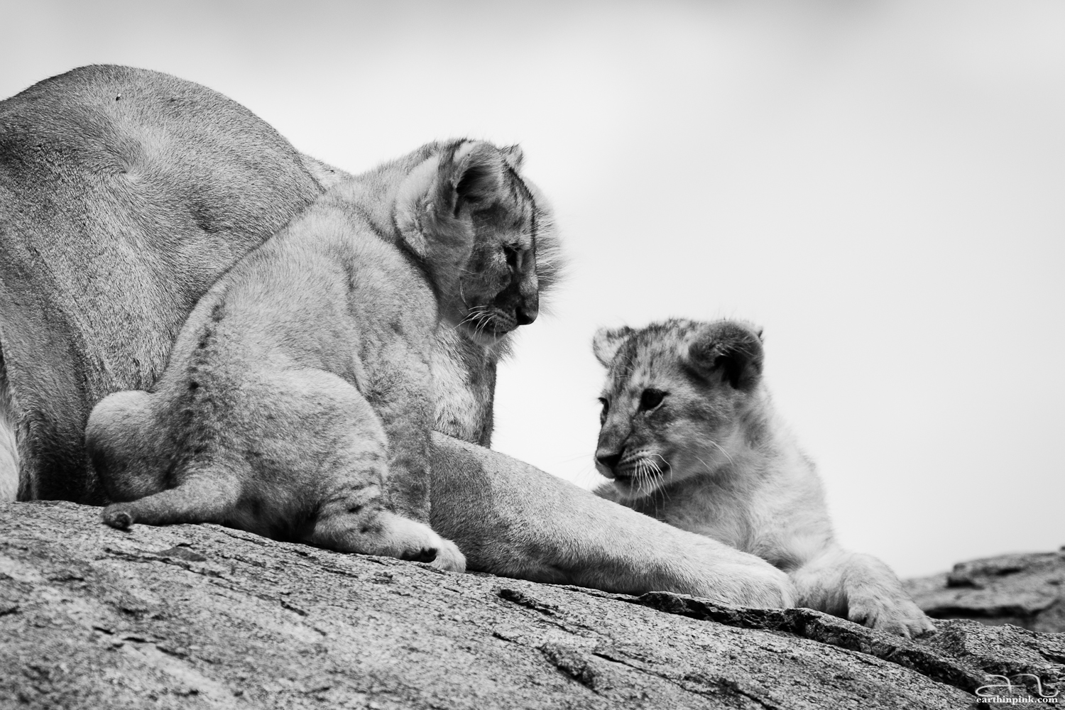 Lion cubs on a tall rock, also known as a kopje, in the Serengeti
