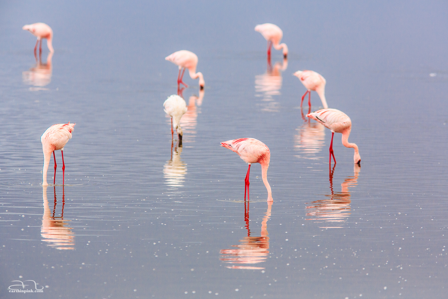 Flamingo reflections on a rainy day in Serengeti National Park, Tanzania