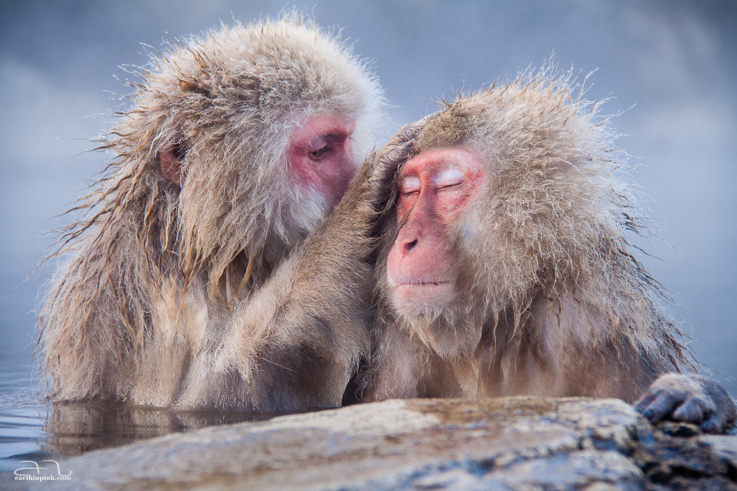 At the Jigokudani Monkey Park, even the monkeys have learned the ways of the Japanese hot bath (onsen).