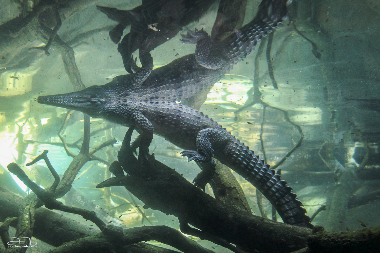Photo of a crocodile in the San Diego Zoo.