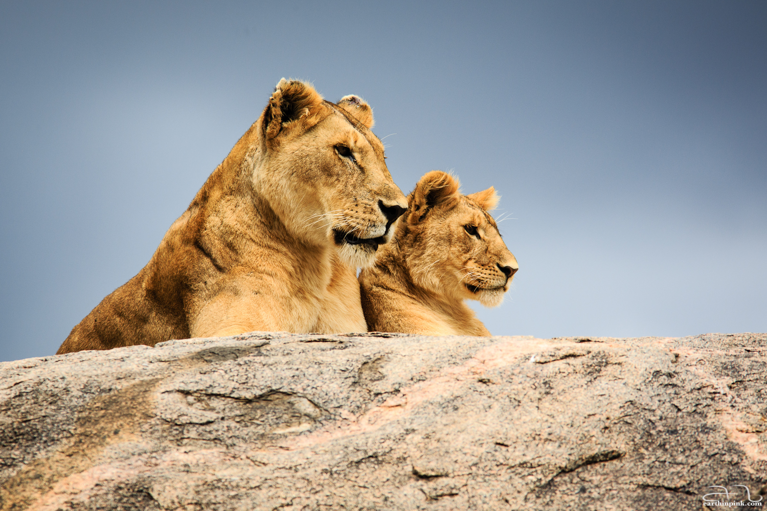 Ok, this is not a reflection - which makes the perfectly mirrored position of these two lions on top of a rock in the Serengeti all the more spectacular.