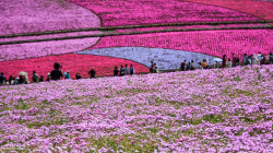 "Astounding carpets of blooming ground phlox (know in Japanese as ""shibazakura"") at Hitsujiyama Park in Chichibu, Saitama prefecture."