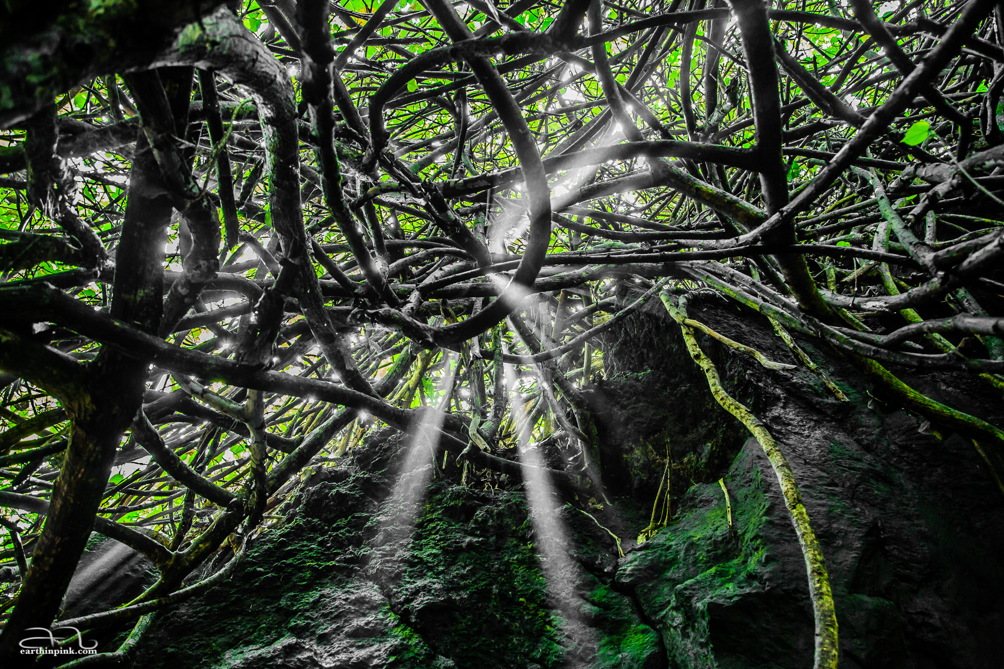 Light seeping in through a thicket in Wai'anapanapa State Park. This is an experiment in using only one color (in addition to tones of black and white) in a photo.
