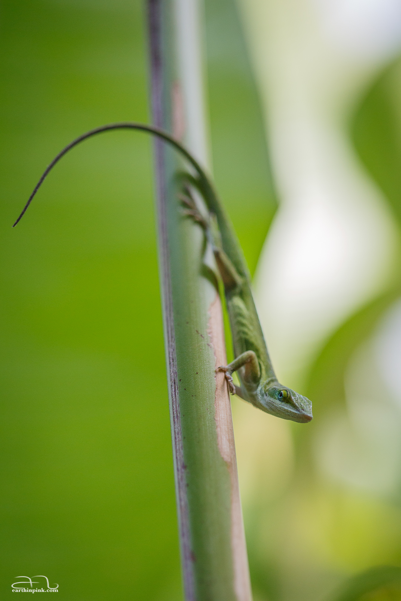 Aurora's first attempts at macro photography: an anole lizard in Karim's back-yard. With many thanks to Karim for lending us his macro lens and for the tips about how to focus it.