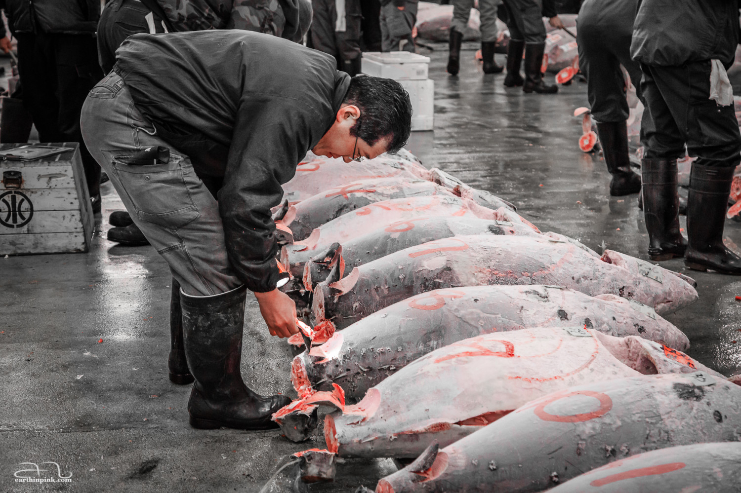 Potential buyers inspect the merchandise just before the tuna auction at the famous Tsukiji fish market.