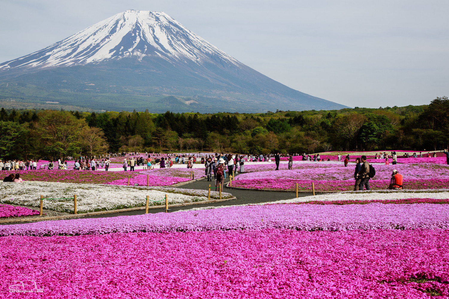 Few things are as representative of Japan as the iconic silhouette of Fuji-san rising above an endless carpet of pink ground moss flowers at the Fuji Shibazakura Festival.