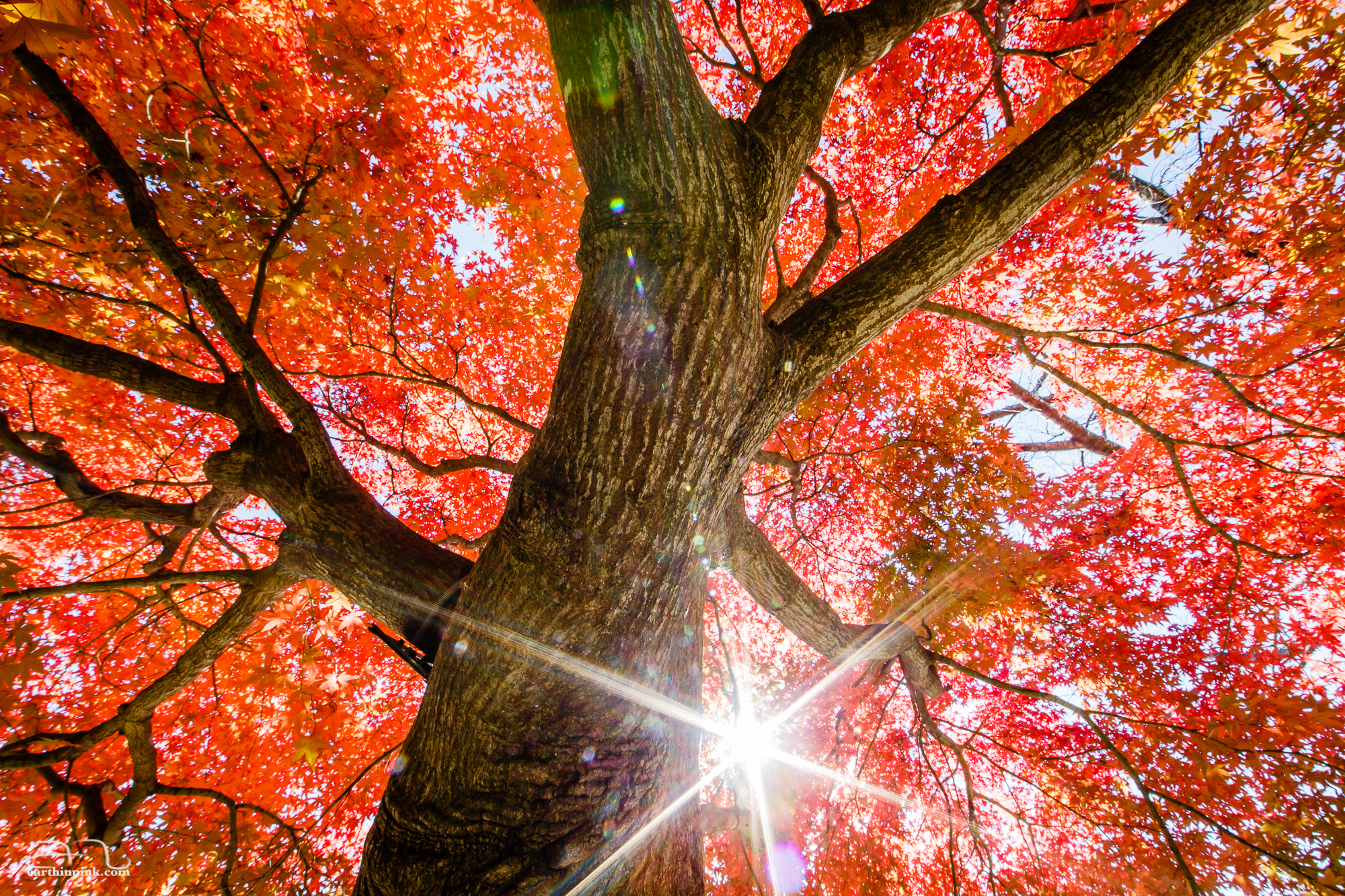 The morning sun shines through the branches of a remarkably red maple tree.