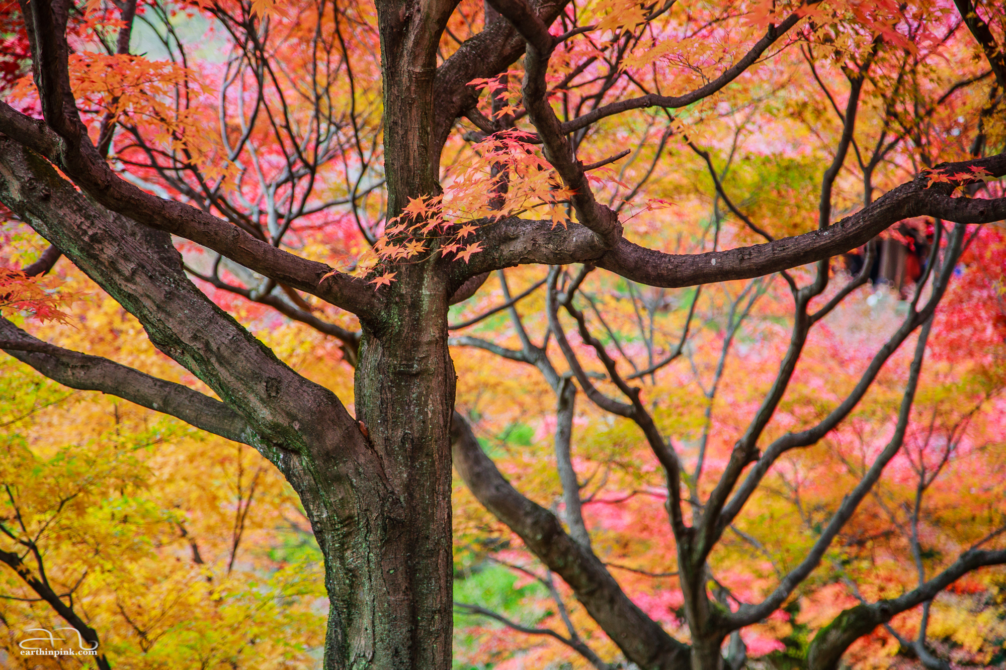 Trees changing colour at the Tofukuji temple - who needs tempera when you can paint with autumn leaves?
