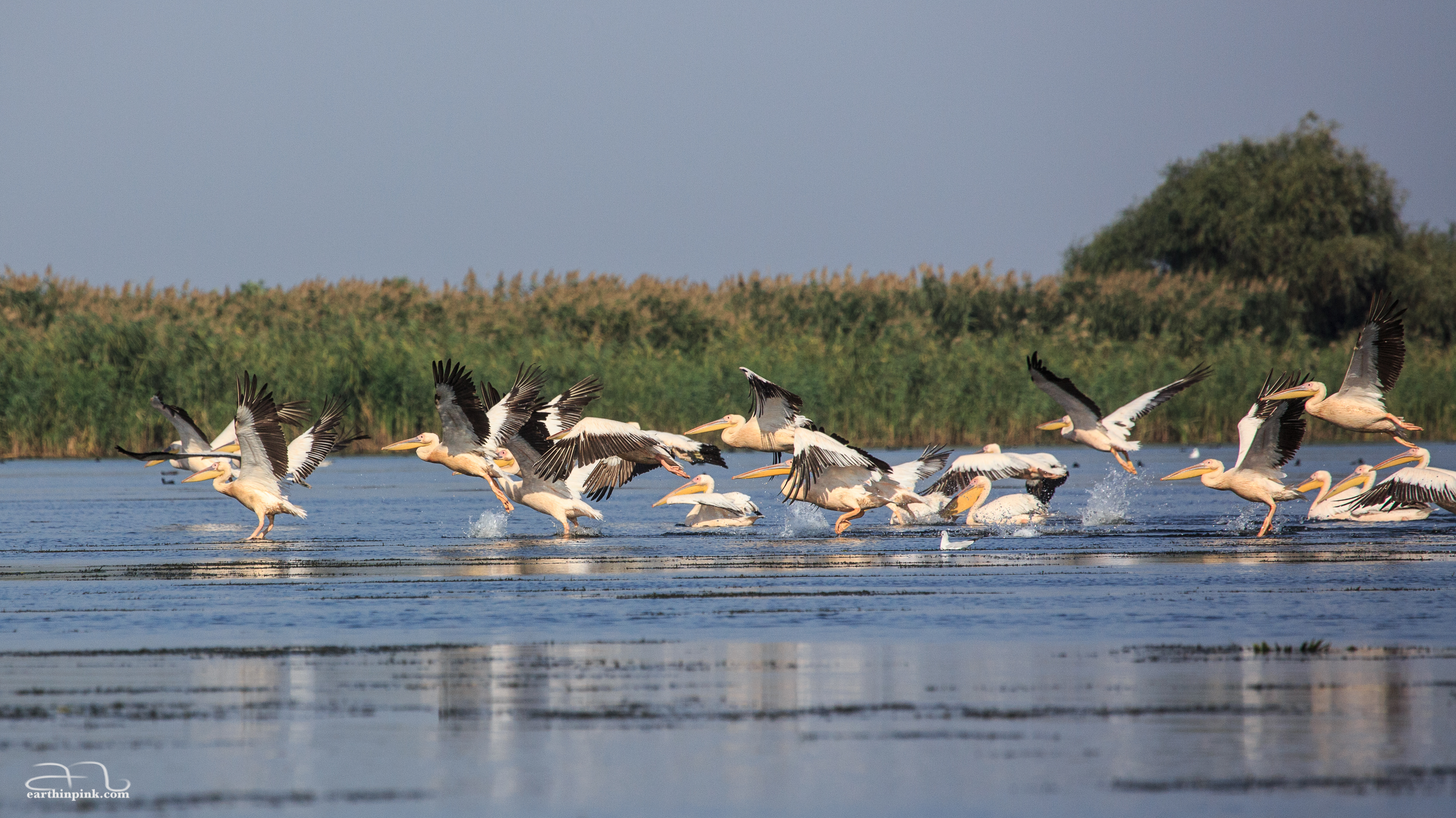 A pod of pelicans about to take flight in the late afternoon light