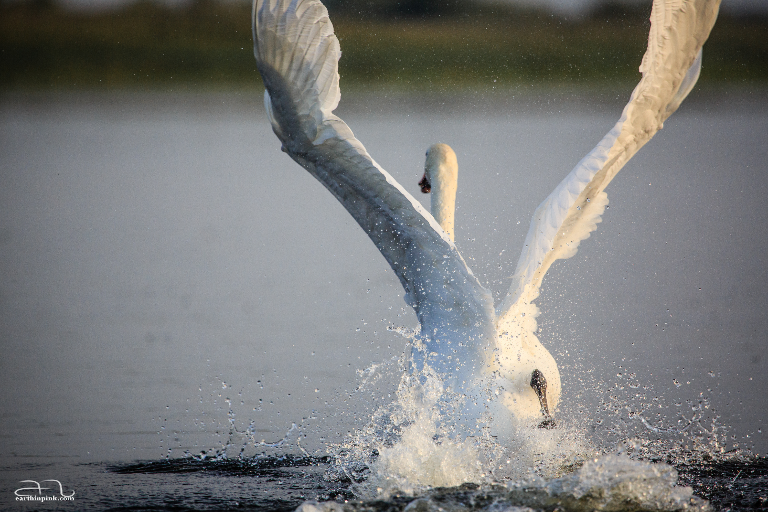 A swan trying to lift itself up from the water's surface