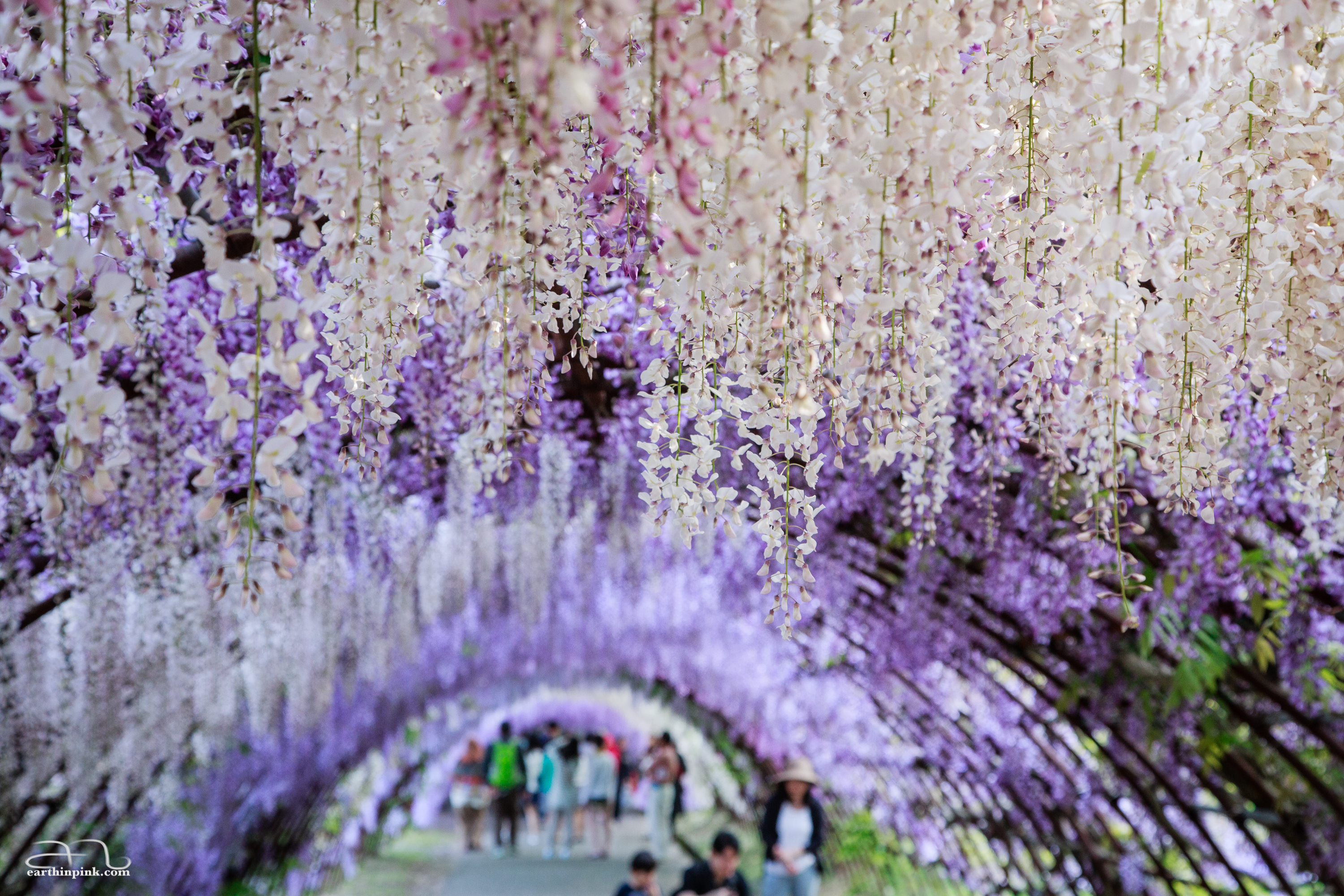 One of the two amazingly colorful and fragrant wisteria tunnels at the Kawachi Fuji Gardens in Kyushu