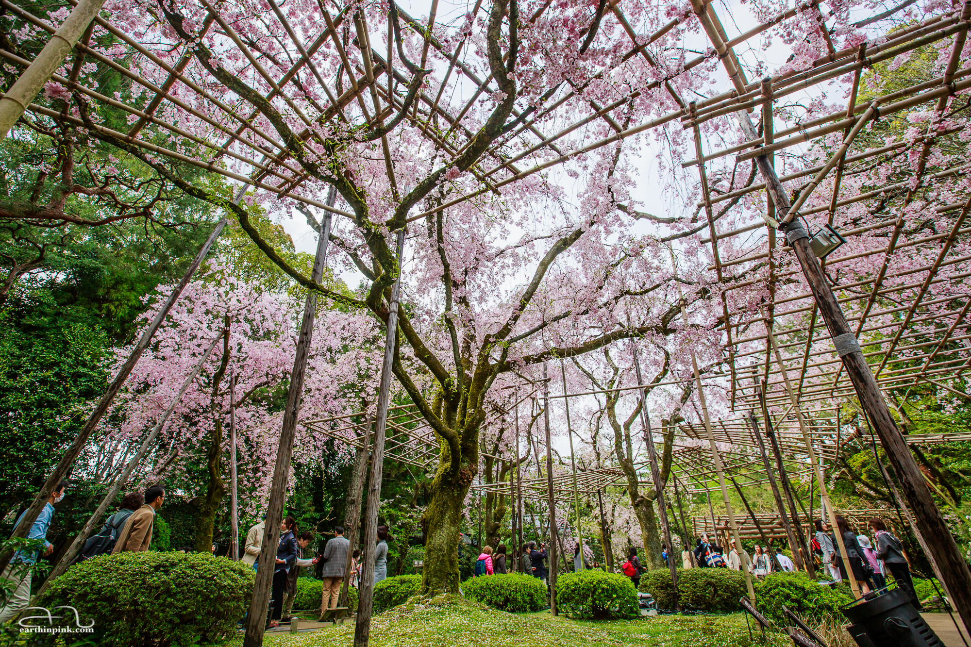 Weeping cherry trees in the gardens of Heian Shrine