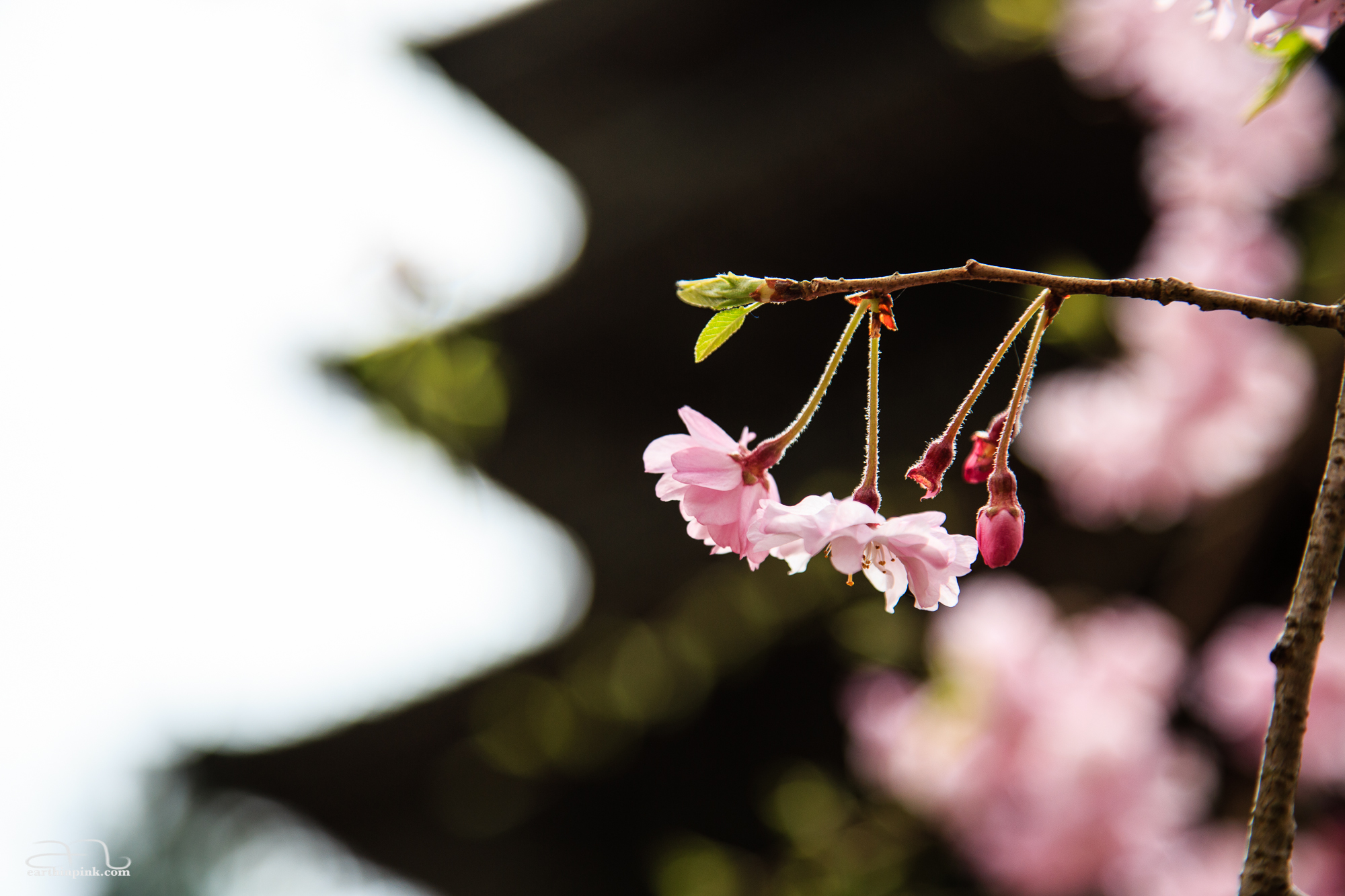 Close-up of cherry blossoms in front of the pagoda at Daigoji Temple.