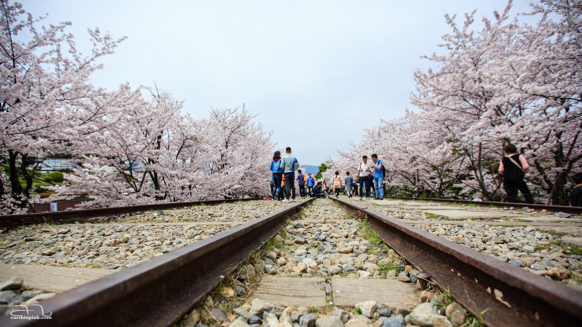 Abandoned railroad tracks at Keage Incline, flanked on both sides by cherry trees.
