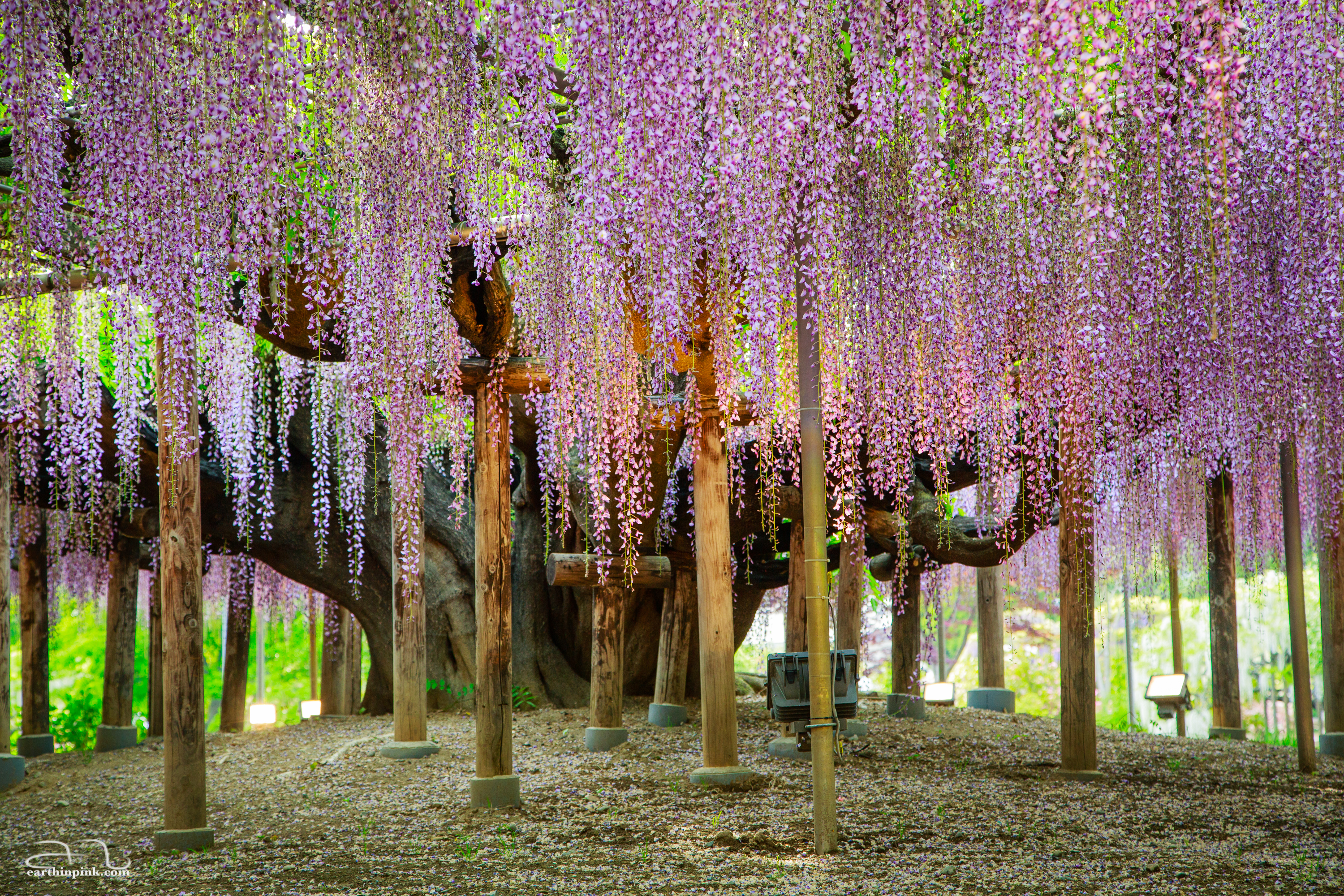 One of the oldest wisteria trees at Ashikaga flower park in Tochigi Prefecture.