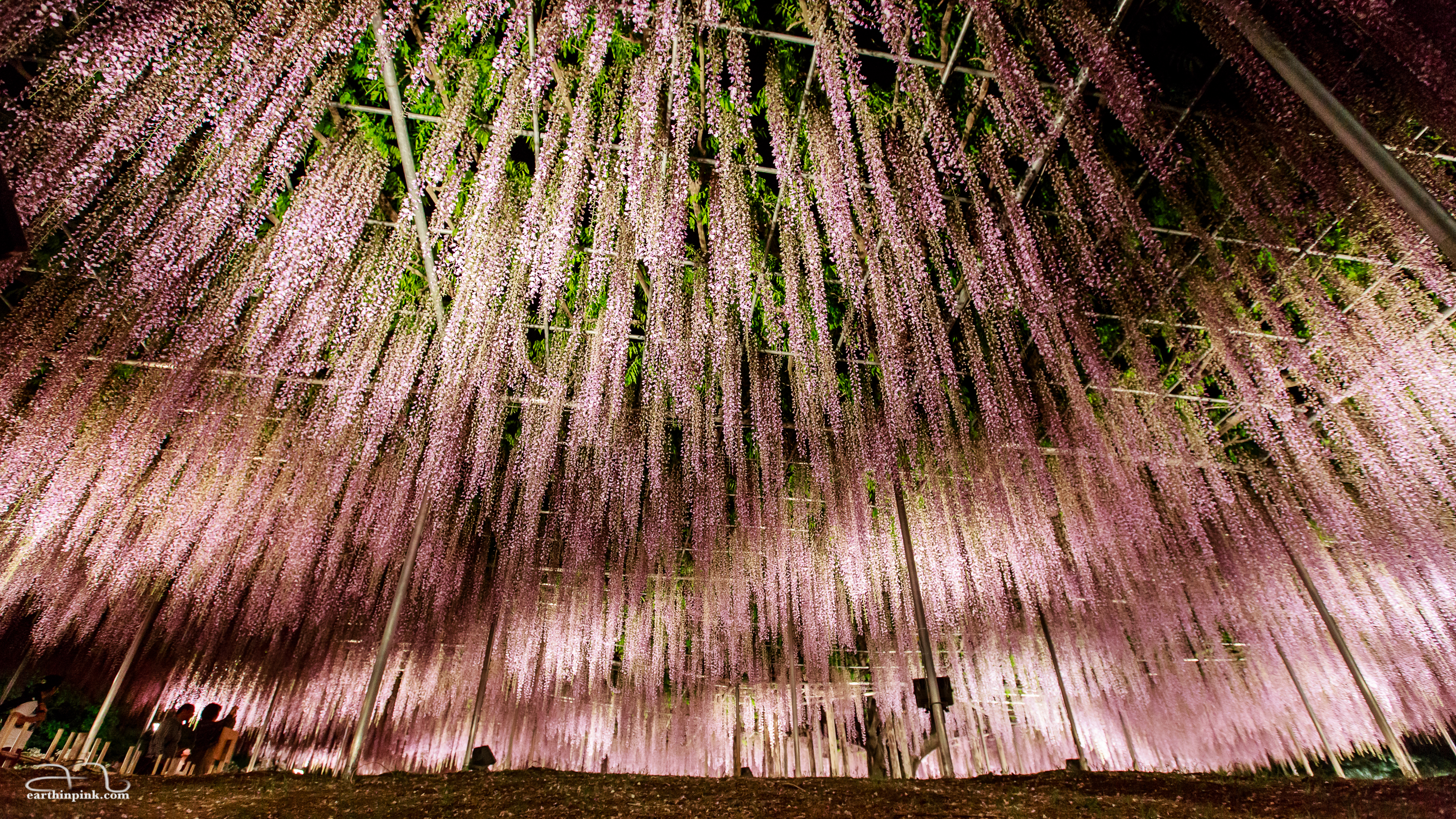 Night illumination of the wisteria trees at Ashikaga flower park, Tochigi, creates the impression of an aurora borealis made out of flowers.