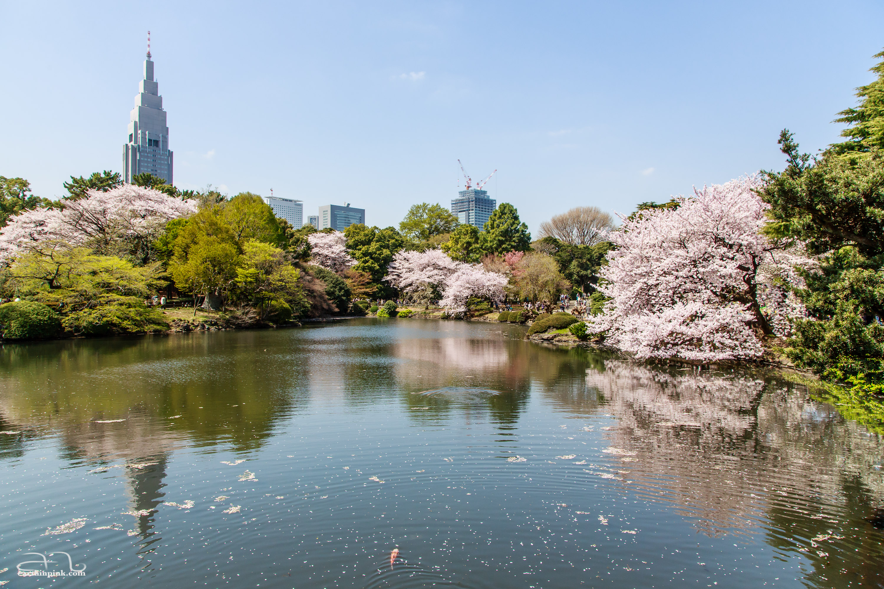 Shinjuku Gyoen gardens in full bloom