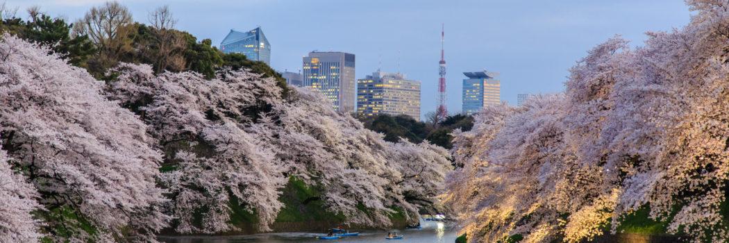 Sakura fever